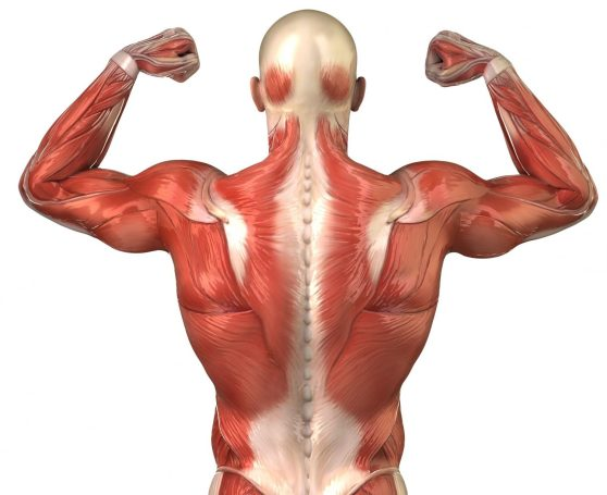 cropped-muscles-anatomy-back.jpg
